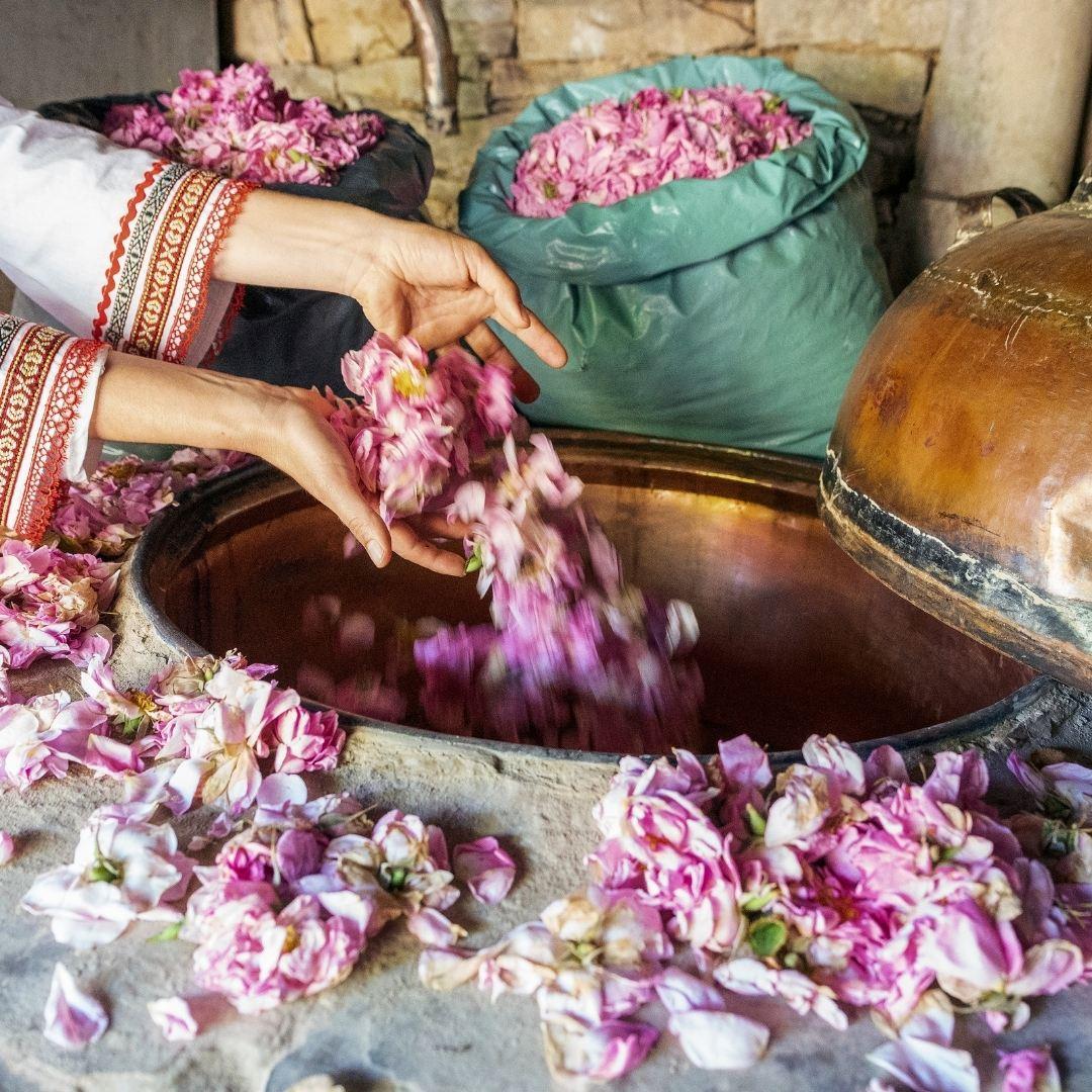 Rosa Damascena Flower Oil Distillation