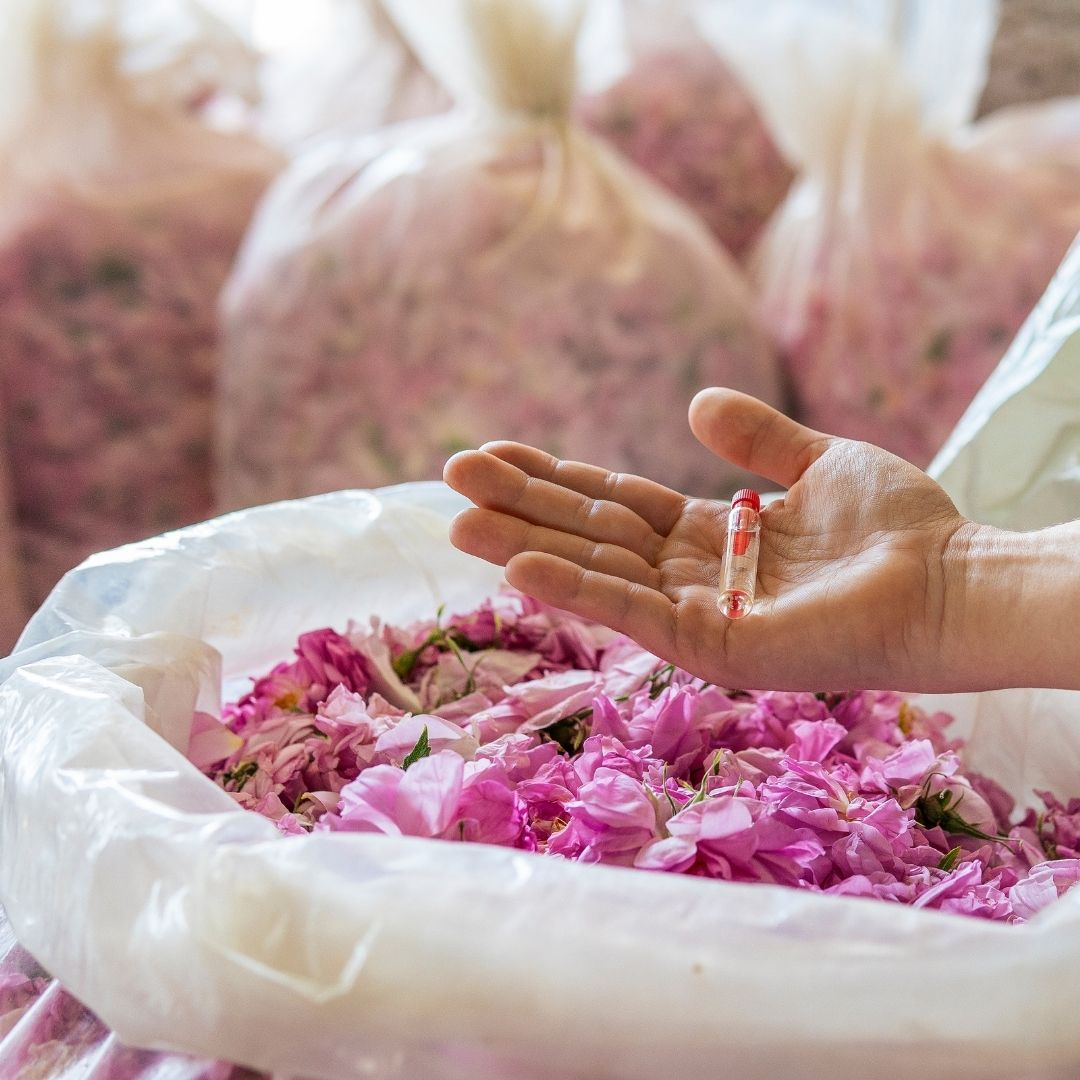 Rose Picking and Rose Oil Extraction